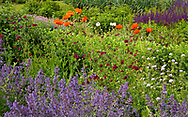 Nepeta 'Walker's Low', Knautia macedonia, Papaver somniferum and Salvia 'Caradonna' in the Herbaceous Nursery Stock Garden at Waterperry Gardens, Waterperry, Wheatley, Oxfordshire, UK