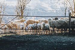 19.03.2020, Piesendorf, AUT, tägliches Leben mit dem Coronavirus, im Bild Schafe und ihre Lämmer stehen auf einem Bauernhof hinter einem Gatter in der Frühlingssonne. Für ganz Österreich wurde eine Ausgangsbeschränkung der Bundesregierung ausgesprochen // Sheep and their lambs on a farm stand behind a fence in the spring sun. The Austrian government is pursuing aggressive measures in an effort to slow the ongoing spread of the coronavirus, Piesendorf, Austria on 2020/03/19. EXPA Pictures © 2020, PhotoCredit: EXPA/ Stefanie Oberhauser