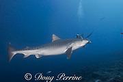 tiger shark, Galeocerdo cuvier, passes by scuba diver with video camera, Honokohau, Kona, Big Island, Hawaii, USA ( Central Pacific Ocean ) and diver; MR 487