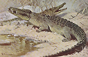 Nile crocodile (Crocodylus niloticus here as Crocodilus niloticus) is a large crocodilian native to freshwater habitats in Africa,  from the book '  Animal portraiture ' by Richard Lydekker, and illustrated by Wilhelm Kuhnert, Published in London by Frederick Warne & Co. in 1912