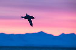 Northern Fulmar (Fulmarus glacialis) in Isfjorden in March, Spitsbergen, Svalbard, Norway