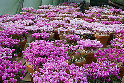 Cyclamen stock plants at Ashwood Nurseries in September