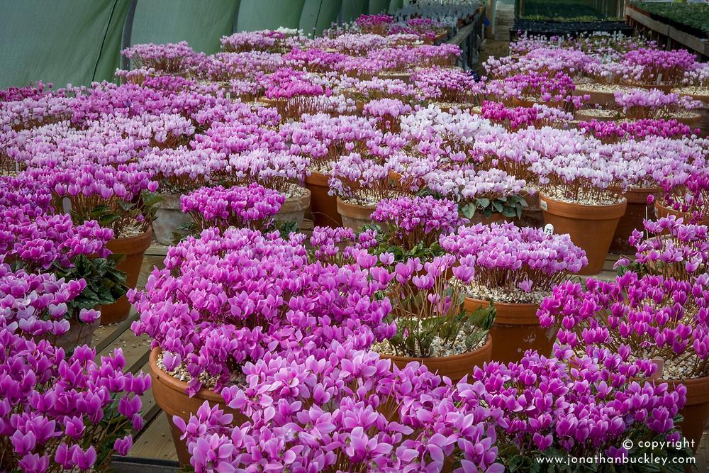 Cyclamen stock plants at Ashwood Nurseries in September