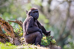 01.04.2016, Zoo, Duisburg, GER, Tiere im Zoo, im Bild Gorillaweibchen sitzt im Gehege // during visit to the Zoo. Duisburg, Germany on 2016/04/01. EXPA Pictures © 2016, PhotoCredit: EXPA/ Eibner-Pressefoto/ Hommes<br /> <br /> *****ATTENTION - OUT of GER*****
