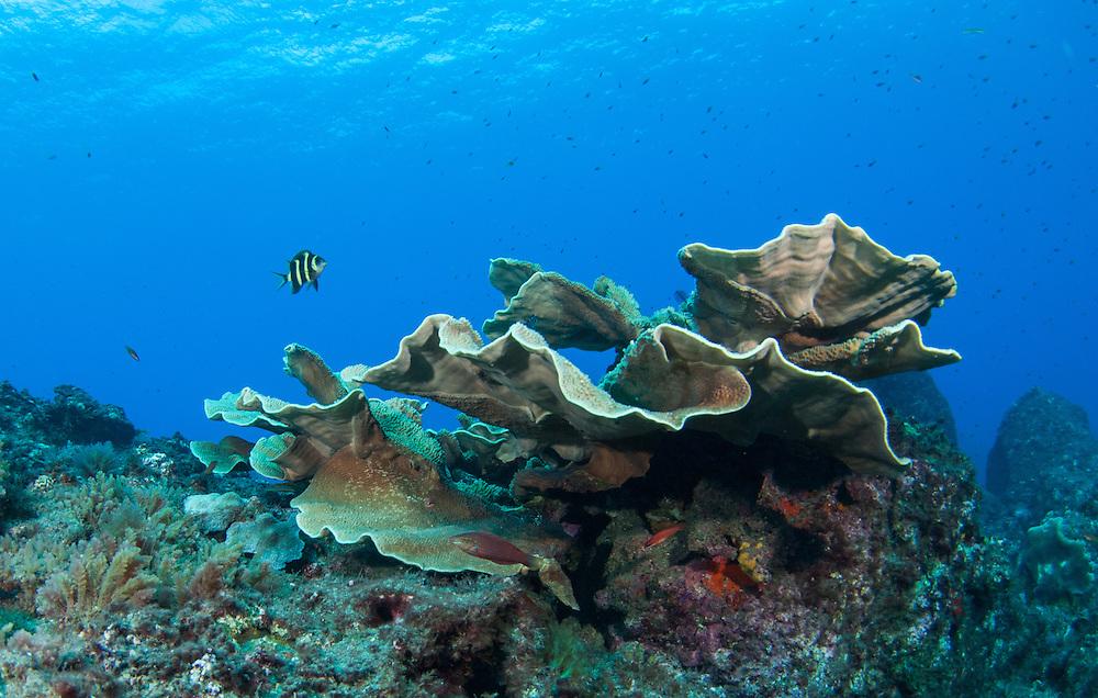 Kermadecs Marine Reserve, Kermadec scalyfin, Parma alboscapularis, juvenile
