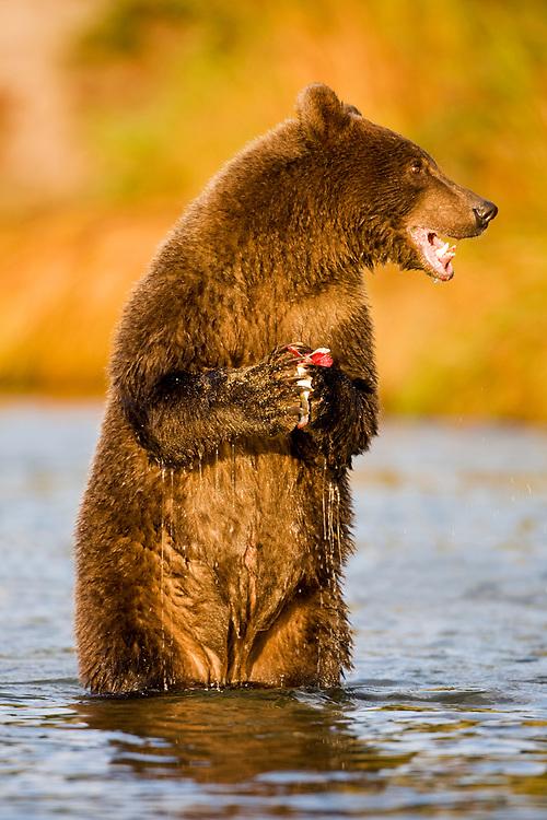 USA, Alaska, Katmai National Park, Kinak Bay, Brown Bear (Ursus arctos) second-year cub feeding on spawning salmon in river on autumn morning