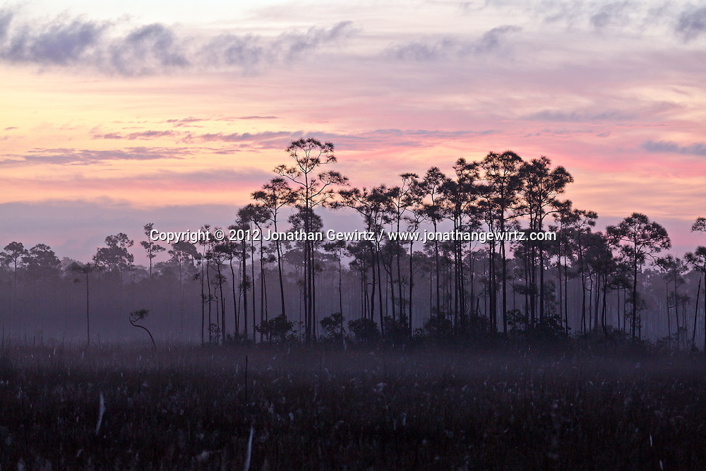 A stand of slash pines emerges from morning fog in a sawgrass meadow in Everglades National Park, Florida. WATERMARKS WILL NOT APPEAR ON PRINTS OR LICENSED IMAGES.<br /> <br /> Licensing: https://tandemstock.com/assets/11431231