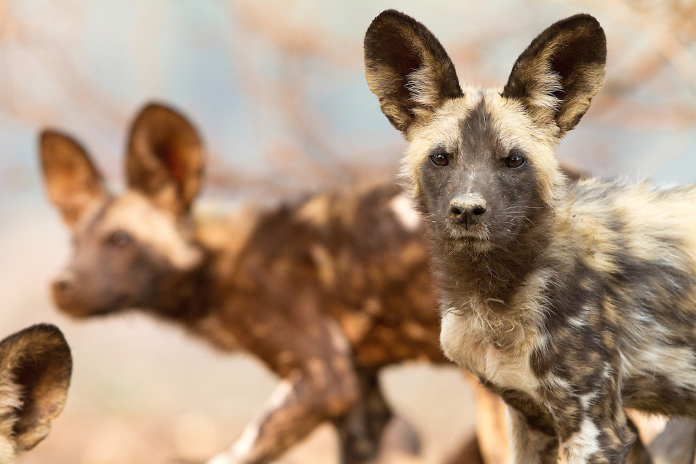 Portrait of an African Wild Dog puppy, Lycaon Pictus, looking at the camera.