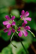 Violet Wood Sorrel - Mississippi