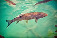 Carp in the Plitvice ( Plitvika ) Lakes National Park, Croatia. A UNESCO World Heritage Site .<br /> <br /> Visit our CROATIA HISTORIC SITES PHOTO COLLECTIONS for more photos to download or buy as wall art prints https://funkystock.photoshelter.com/gallery-collection/Pictures-Images-of-Croatia-Photos-of-Croatian-Historic-Landmark-Sites/C0000cY_V8uDo_ls