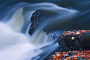 Maple leaves on the shore of the Magnetewan River at Brooks Falls<br /> Emsdale<br /> Ontario<br /> Canada