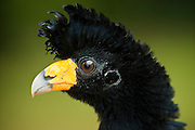 Black Curassow (Crax alector) wild<br /> Iwokrama Reserve<br /> GUYANA<br /> South America<br /> RANGE: Humid forests in northern South America in Colombia, Venezuela, the Guianas and far northern Brazil