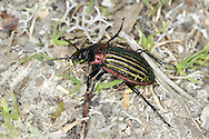 Carabus nitens - a species of ground beetle