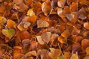 Autumn leaves lying on ground, Otago Rail Trail, Chatto Creek, Otago New Zealand