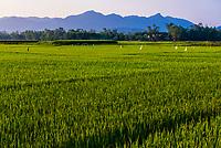 Rice fields, near Danang, Vietnam.