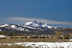 Bison graze Swan Flats below Electric Peak in Yellowstone National Park.