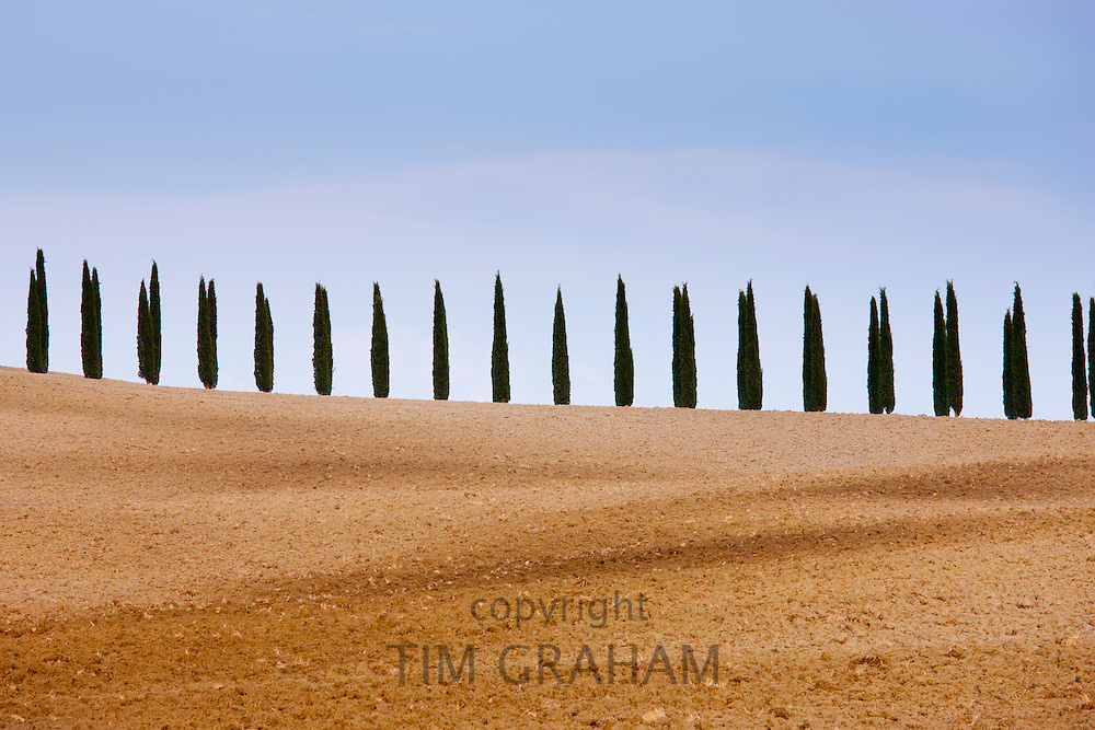 Typical Tuscan cypress trees  in Val D'Orcia, Tuscany, Italy RESERVED USE - NOT FOR DOWNLOAD - FOR USE CONTACT TIM GRAHAM