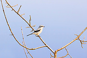 A northern shrike (Lanius borealis) looks for food from its perch in a bare tree to hunt in a meadow at Marymoor Park, Redmond, Washington. The northern shrike hunts for birds, small mammals and insects in brushy, semi-open habitats.