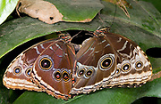 Close-up of a pair of blue morpho butterflies (Morpho peleides) mating at the Long Sutton Butterfly and Wildlife Park. Lincolnshire
