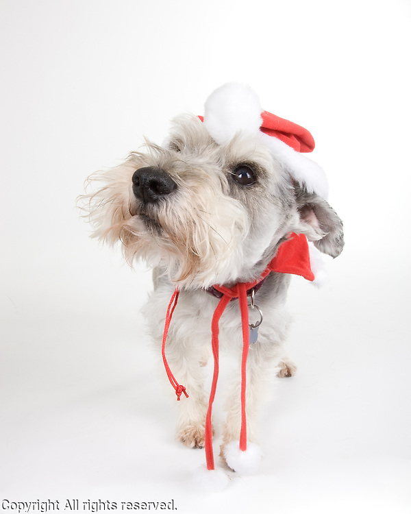 I photographed this pup for one of my clients.  I like this guy's terrier attitude.