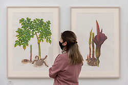 © Licensed to London News Pictures. 17/09/2021. LONDON, UK. A staff member views illustrations of konjac yams by Hideko Kamoshita.  Preview of the RHS Botanical Art & Photography Show 2021 at the Saatchi Gallery.  More than 200 pieces featuring an array of scientifically accurate botanical illustrations by 15 artists and portfolios from 19 photographers are on show September 18 to October 3, 2021 in an event that runs parallel to the RHS Chelsea Flower Show, hosted for the first time in Autumn.  Photo credit: Stephen Chung/LNP