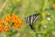 03006-00512 Zebra Swallowtail (Protographium marcellus) on Butterfly Milkweed (Asclepias tuberosa) Marion Co. IL