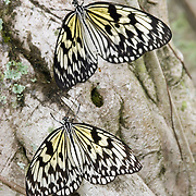 Tree Nymph (Idea leauconoe) Butterflies, also known as Paper Kite Butterflies and Rice Paper Butterflies