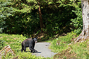An adult American black bear crosses a trail at Anan Creek in the Tongass National Forest, Alaska. Anan Creek is one of the most prolific salmon runs in Alaska and dozens of black and brown bears gather yearly to feast on the spawning salmon.