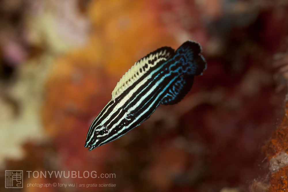 Juvenile yellowback tubelip (Labropsis xanthonota). Photograph from Feni Islands in New Ireland, Papua New Guinea.