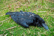 Lifeless dead Raven large bird, Corvus corax, in the United Kingdom
