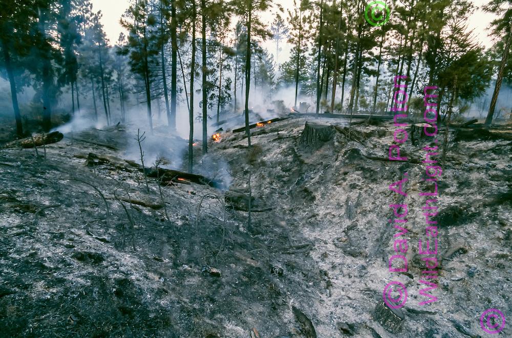 Prescribed burn after logging in ponderosa pine forest leaves ash and blackened soil, Jemez Mountains, NM, © David A. Ponton