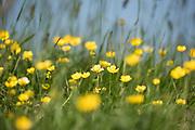 Meadow Buttercup Flowers, Ranunculus acris, Lydden Temple Ewell Reserve, Kent UK, Kent Wildlife Trust