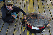 Renee Bish & Hawksbill turtle (Eretmochelys imbricata)<br /> Lighthouse Reef Atoll<br /> Belize<br /> Central America