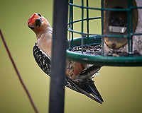 Red-bellied Woodpecker. Image taken with a Nikon D5 camera and 600 mm f/4 VR lens