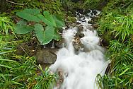 Mountain stream, Nuuanu Pali, Oahu, Hawaii