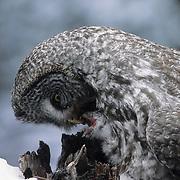 Great gray owl adult feeding chicks. Montana