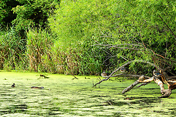 Moraine View SP area - Blue winged Teal (Anas discors) sit on a dead tree which extends into Dawson Lake from the bank.
