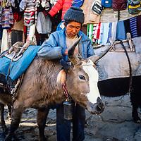 A Sheroa saddles his yak in Namche Bazar in the Khumbu region of Nepal 1986.