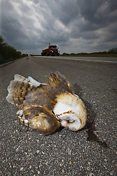 Dead Barn Owl, hit by var on side of road, South Texas, USA