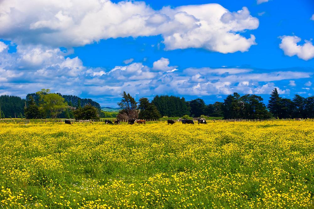 Rapeseed fields, Waiaruhe, North Island, New Zealand