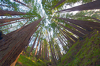 Wide Angle Looking up from a Coastal Redwood Forest. Image taken with a Nikon D3x and 14-24 mm f/2.8 lens (ISO 100, 14 mm, f/16, 2.5 sec). Raw image converted using Adobe Camera Raw 6.2 (ldefault). HDR of 5 images (+2, +1, 0, -1, -2 EV) using Photoshop CS5 HDR Pro (saturated).