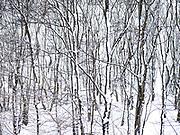 Bomen met sneeuw in Westduinpark tijdens de winter, Den Haag - Trees covered with snow in Westduinpark during wintertime. The Hague, Netherlands