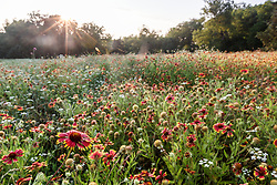 Backlit wildflower field, Big Spring historical and natural area, Great Trinity Forest, Dallas, Texas, USA