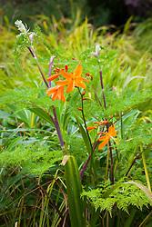 Crocosmia × crocosmiiflora 'Star of the East' with the foliage of Selinum wallichianum
