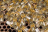 Honey Bee - Apis mellifera