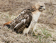 A hawk with an injured right wing stands in a grassy area between Route 17M and Route 17 in Chester on March 28, 2013.