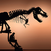"""T. Rex, """"tyrant lizard king,"""" was excavated and prepared by the Black Hills Institute and named after the discoveror, Stan Sacrison.  Pete Larson of the Black Hills Institute is the figure in silhouette."""