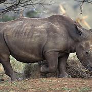 White Rhinoceros (Ceratotherium simum) in Kenya, Africa.