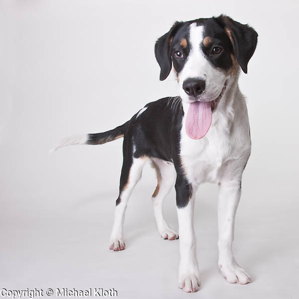 Tri-Colored hound mix puppy photographed in a studio.  Pet photography by Michael Kloth.