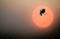 Spider in its net at dusk,  Hortobagy National Park, Hungary
